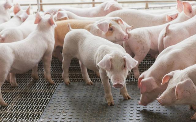 当季猪口蹄疫常发的高效防治方案!防病+治病的理想解决方案之一!