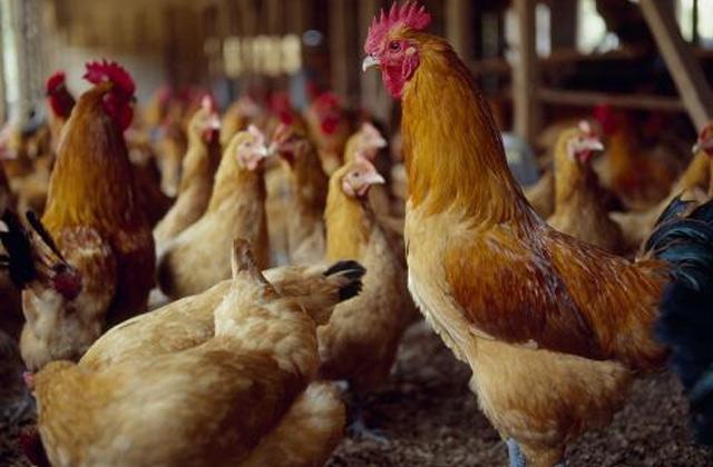 光色对养鸡人的影响,养鸡人必看